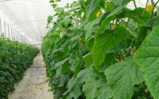 Как правильно посадить огурцы в августе?