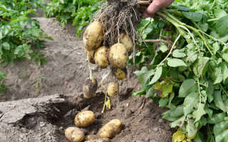 Картофель Никсе — описание сорта, фото, отзывы, посадка и уход