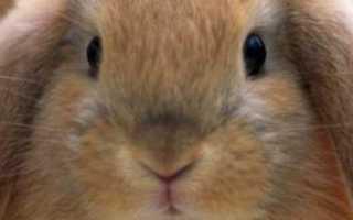 Сколько раз в день крольчиха кормит своих кроликов?