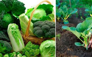 Как посадить капусту в домашних условиях?