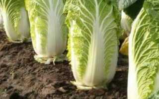 Когда убирать пекинскую капусту с грядки осенью?