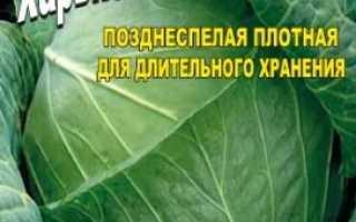 Капуста Харьковская Зимняя — описание сорта, фото, отзывы, посадка и уход