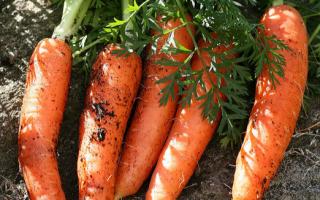 Можно ли хранить морковь в золе?