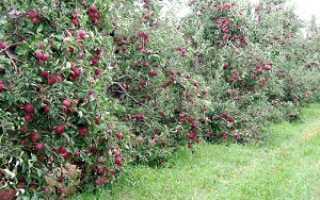Сорта яблони на карликовых подвоях: лучшие низкорослые деревья, а также их посадка и уход