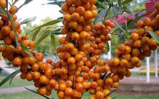 Садовая облепиха — описание, выращивание, уход