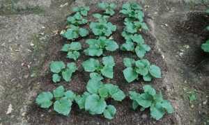 Кустовые сорта огурцов для открытого грунта