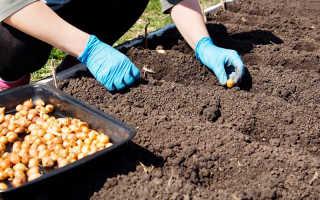 Как посадить озимый лук осенью?