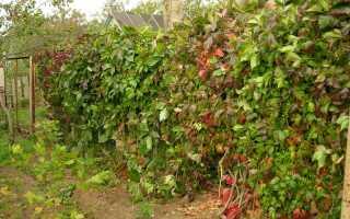 Дикий виноград в ландшафтном дизайне