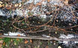 Когда укрывать виноград на зиму в Подмосковье?