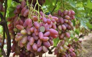 Виноград Преображение: описание сорта, фото и отзывы садоводов