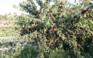 Черешня Аннушка — описание сорта, фото, отзывы садоводов