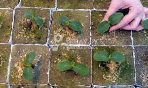 Посадки и выращивание арбузов в Подмосковье в открытом грунте