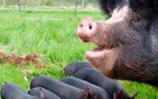 Черная свинья: породы и характеристика