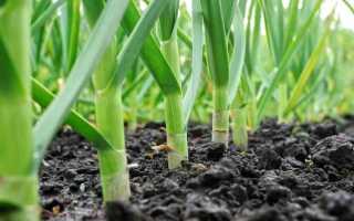 Как подкормить чеснок в июне для хорошего урожая?