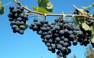 Виноград в Башкирии: уход и обрезка