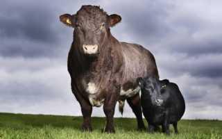 Сколько весит бык: средний вес от теленка до быка, нормы и весовые категории коров