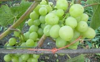 Виноград Агрус: описание сорта, фото и отзывы садоводов