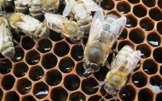 Кто такой трутень в пчелах: особенности, значение в улье и значение трутня