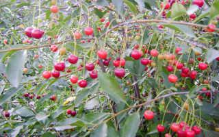 Вишня Щедрая — описание сорта, фото, отзывы садоводов