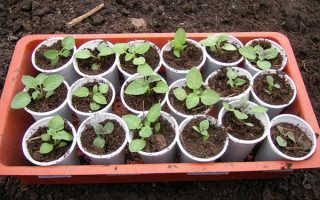 Как вырастить картошку из семян?