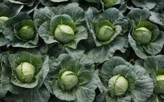 Чем подкормить капусту в августе для формирования кочана?
