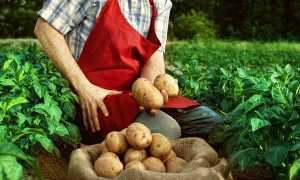 Можно ли копать картошку в дождь?