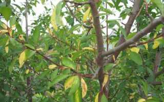 Желтеют листья у сливы — что делать?