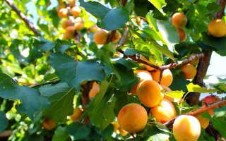 Как правильно хранить абрикосы в домашних условиях