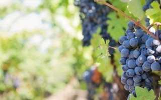 Как правильно сажать виноград: советы и практические рекомендации; Сайт о винограде и вине