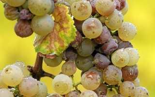 Антракноз винограда: фото и чем лечить
