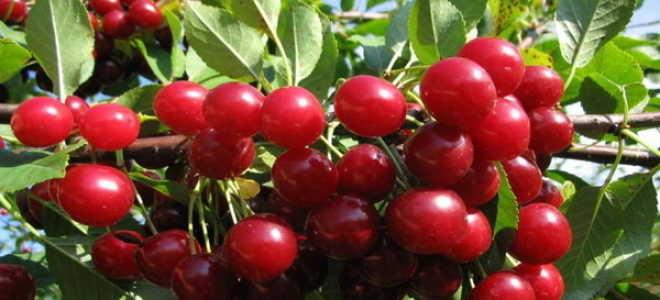Вишня Любская — описание сорта, фото, отзывы садоводов