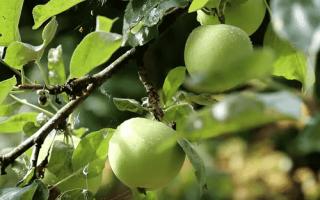 Как посадить яблоню весной?