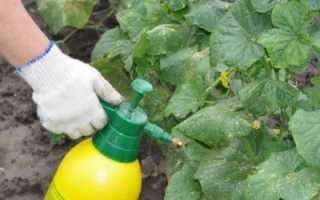 Опрыскивание огурцов молоком с йодом