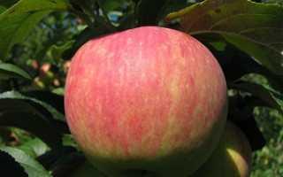 Яблоня Услада — описание сорта, фото, отзывы