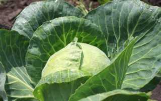 Как применять уксус от гусениц на капусте?