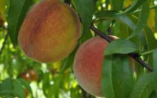 Можно ли привить на абрикос персик?