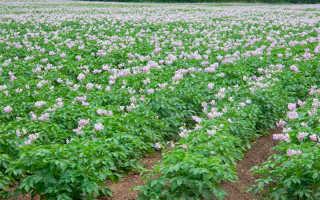 Какой гриб вызывает заболевание картофеля?