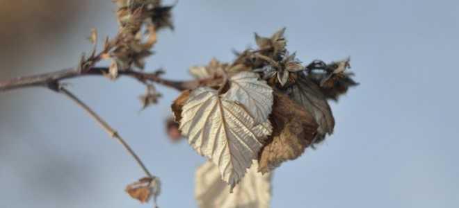 Обрезка ремонтантной малины летом