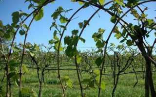Посадка винограда в средней полосе России для начинающих