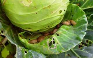 Чем обработать капусту от слизней и улиток?