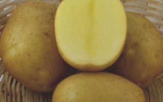 Картофель Венди — описание сорта, фото, отзывы, посадка и уход