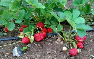 Земляника Елизавета: выращивание, описание сорта, фото и отзывы