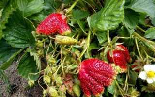 Земляника Купчиха: выращивание, описание сорта, фото и отзывы