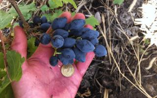 Виноград Ромбик: описание сорта, фото и отзывы садоводов