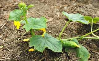 Как продлить плодоношение огурцов в сентябре?