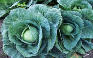 Когда осенью убирать капусту?