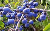 Слива Памяти Путова — описание сорта, фото, отзывы садоводов