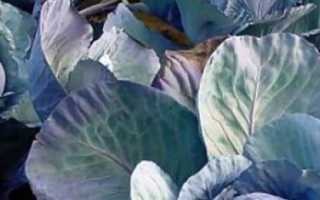 Почему у капусты листья стали фиолетовые и что делать?