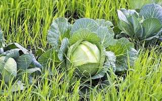 Сидераты под капусту осенью — как посадить?