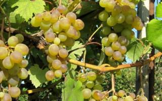Виноград Галбена Ноу: описание сорта, фото и отзывы садоводов